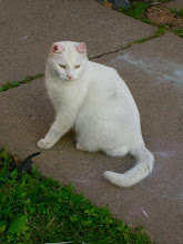 """Photo: The story of Verdi...  One warm summer day a very sweet and hungry white cat showed up in the alley next to our house. He was a young male..., very friendly and obviously feeling a bit lost. We already had two cats and had no desire for another, but we gathered him up and took him home. We fed him, and kept him on our front porch while we tried to find his home. He had obviously come from a family. He was great with the kids, so gentle. Though the two female cats we had were not so thrilled to have an un-neutered male teenager on their doorstep...  We were never able to find where he came from, but our alley had been a pet dumping spot before and we guessed that this is what had happened to this fellow. He loved people, but he was a raging hormone factory on four legs... wild to spread his oats... and not interested in being tamed. He may have run off from his home, or he could have been dumped for being an unruly, young tom, who was just learning to mark out a territory.  Of course, the kids fell in love... and I did too. He soon had a name, Verdi, for his great green eyes. We got him fixed and made sure he had all his shots. We live on a very busy city street, and also in a neighborhood where there are lots of """"predators"""" for cats... including other cats. So, I tried to keep our new skinny snow white fluff ball safe by training him to be a house cat. He was fine inside... for a while. But the call of the outdoors was too strong, and he literally bounced off the walls of the house! He became a wild blur desperate to get out. I finally gave in to his desire after he catapulted over the kitchen table one day and broke my favorite tea pot. (It was a cherished wedding gift... sigh.)  Feeling the jealous looks of our other cats, I gave Verdi leave to come and go as he pleased. I gave him a collar to wear complete with ID tags. He managed to take it off. This collar trick happened over and over again. I never figured out how he managed to do it so quickly or where"""