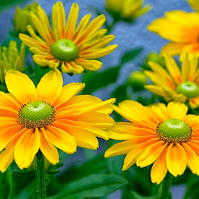 fresh yellow by Kadek Lana - Nature Up Close Flowers - 2011-2013 ( kadek wismalana )