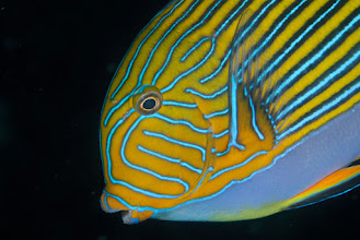 Photo: Striped Surgeonfish - Acanthurus lineatus Fish photography is too easy on the Liberty!