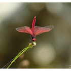 Trithemis aurora 曉褐蜻