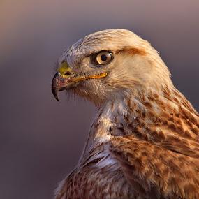 Long Legged Buzzard  by Sharad Agrawal - Animals Birds ( bird, nature, udaipur, rajasthan, wildlife, india, birds )
