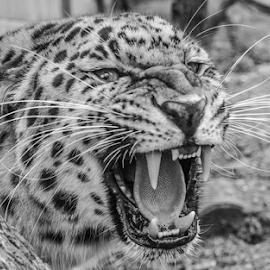 Leopard by Garry Chisholm - Black & White Animals ( leopard, nature, mammal, cat survival trust, garry chisholm )
