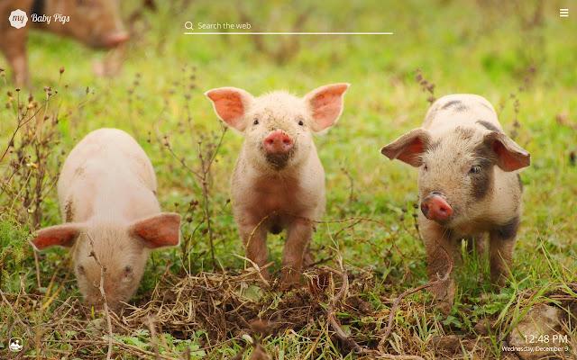 my baby pigs cute baby pig hd wallpapers