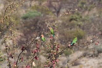 Photo: Fisher's Lovebird / Agapornis fišerův