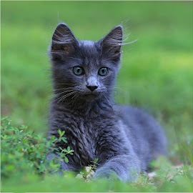 Chester My blue Kitten by Stacy Knighton - Animals - Cats Kittens