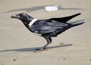 Photo: Cuervo pio (Corvus albus)