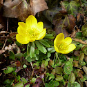 Winter aconite, Winterling