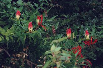 Photo: Gloriosa Superba lillies in the wild