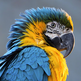 Blue and Gold macaw portrait by Fiona Etkin - Animals Birds ( bird, colourful, nature, parrot, beak, vibrant, feathers, tropical bird, animal, macaw,  )