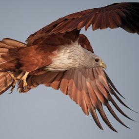 brahminy kite by Sathya Vagale - Animals Birds