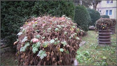 Photo: Priboi (Geranium) - de pe Str. Rapsodiei, spatiu verde intre blocuri - 2018.01.10