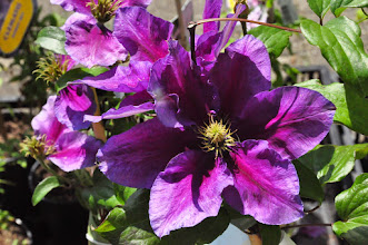 Photo: Clematis 'Varenne'