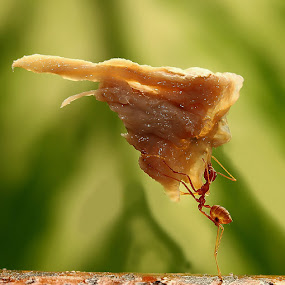 ANT by B Iwan Wijanarko - Animals Insects & Spiders