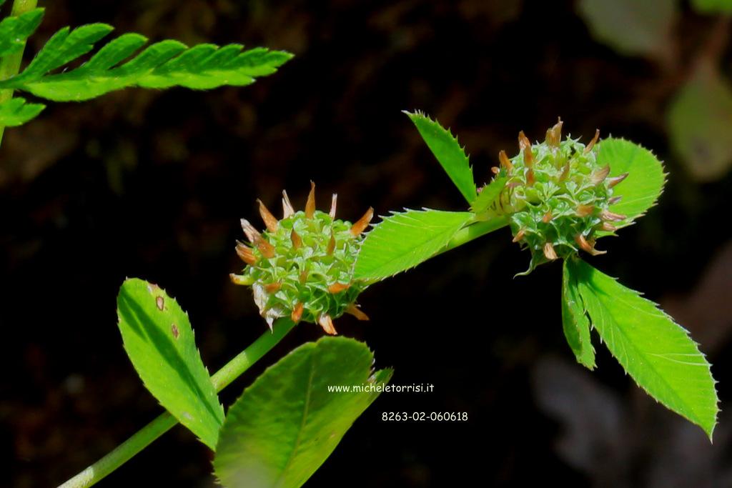 Trifolium glomeratum L.