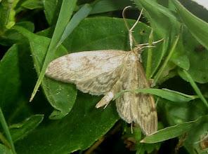 Photo: Perinephela lancealis     Lepidoptera > Crambidae