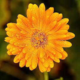 Etoile jaune by Gérard CHATENET - Flowers Single Flower