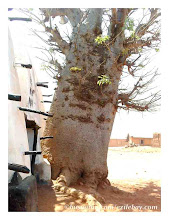 Photo: le baobab et la mosquée, Larabanga, north Ghana