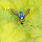 Long-legged Fly (Eating a Smaller Insect)