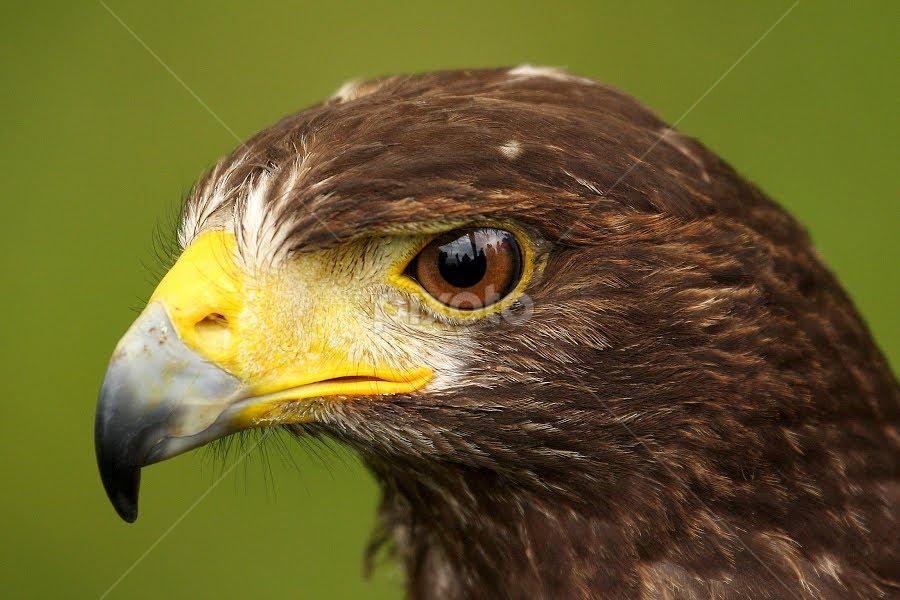 Harris Hawk by Mark Hughes - Animals Birds ( wildlife., bird, bird of prey, nature, raptor )