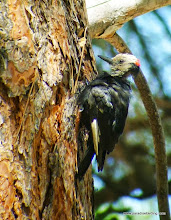 Photo: Adult male White-headed Woodpecker, Best Western Ponderosa Lodge, Sisters, OR (note very worn neck feathers)