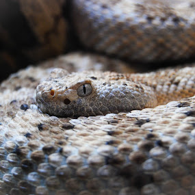Brown Eyes by Jessica Simmons - Animals Reptiles ( snake, zoo, brown, snakes, eyes,  )