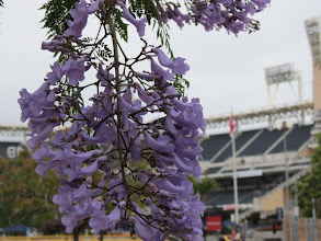 Photo: Flowering tree in front of ballpark