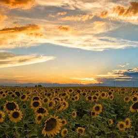 Sunflower field by Heather Diamond - Nature Up Close Gardens & Produce ( field, orange, sky, nature, sunset, green, sunflowers, scenic, yellow, beauty, flower, blossom, Hope )