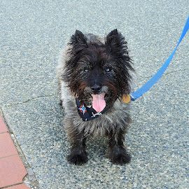 Cairn Terrier by Carol Leynard - Animals - Dogs Portraits ( small dog, cairn, scottish terrier, terrier )