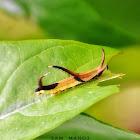 Common Mapwing Caterpillar