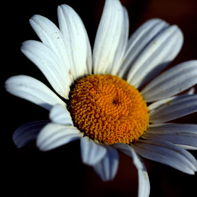 Daisy by Nick Hogg - Flowers Flowers in the Wild ( macro, daisy, wild, canon, flower )
