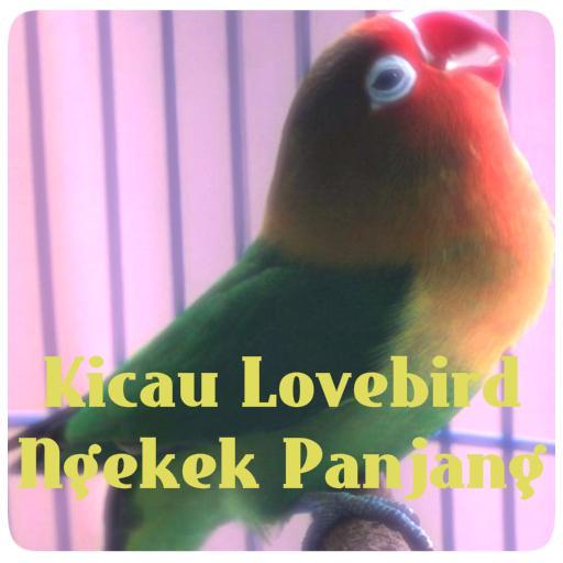 Kicau Lovebird Ngekek Panjang