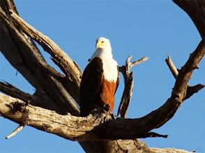 Photo: Een visarend kijkt uit over de Choberivier
