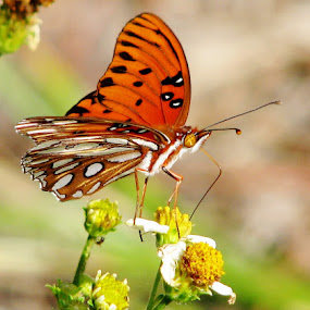 gulf fritillary by Priscilla Renda McDaniel - Animals Insects & Spiders ( butterfly, orange, white, flower, , animal, butterfy )