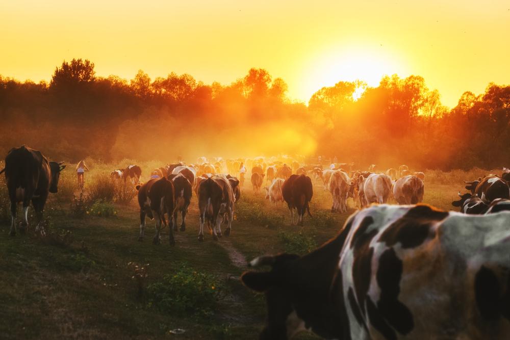 Início da atividade pecuária na Amazônia ocorreu por volta de 1600. (Fonte: Shutterstock)