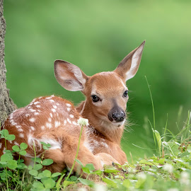 Adorable little fawn under a tree by Debbie Quick - Animals Other Mammals ( deer, debbie quick, young, white-tailed deer, nature lovers, natures best shots, debs creative images, animal photography, nature photography, poughkeepsie, wildlife, precious, natural, nature, new york, national geographic, outdoor magazine, wildlife photography, outdoors, baby, animal, fawn, wild, hudson valley, adorable )