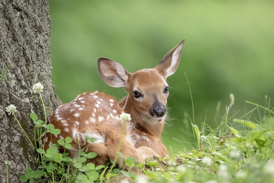 Adorable little fawn under a tree by Debbie Quick - Animals Other Mammals ( deer, debbie quick, young, white-tailed deer, nature lovers, natures best shots, debs creative images, animal photography, nature photography, poughkeepsie, wildlife, precious, natural, nature, new york, national geographic, outdoor magazine, wildlife photography, outdoors, baby, animal, fawn, wild, hudson valley, adorable,  )