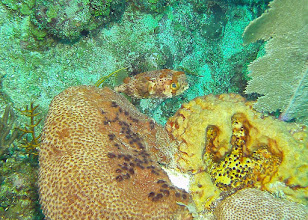 Photo: Porcupinefish cropped section