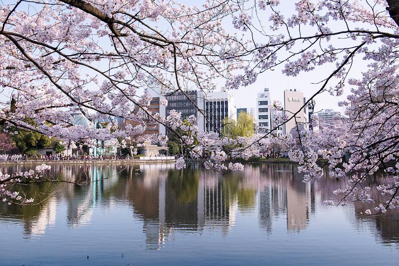 Fiori di ciliegio: è primavera! di paola grassi