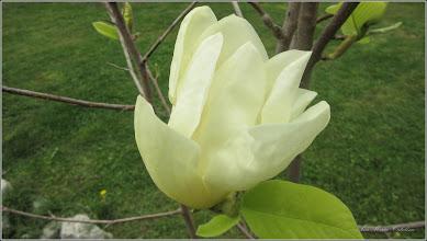 Photo: Magnolie (Magnolia) - din Piata 1 Decembrie 1918, spatiu verde - 2018.04.17