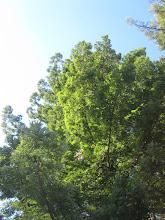 Photo: Moon tree upward... another towering redwood!