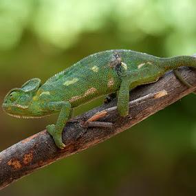 Chameleon by Mohan Matang - Animals Reptiles