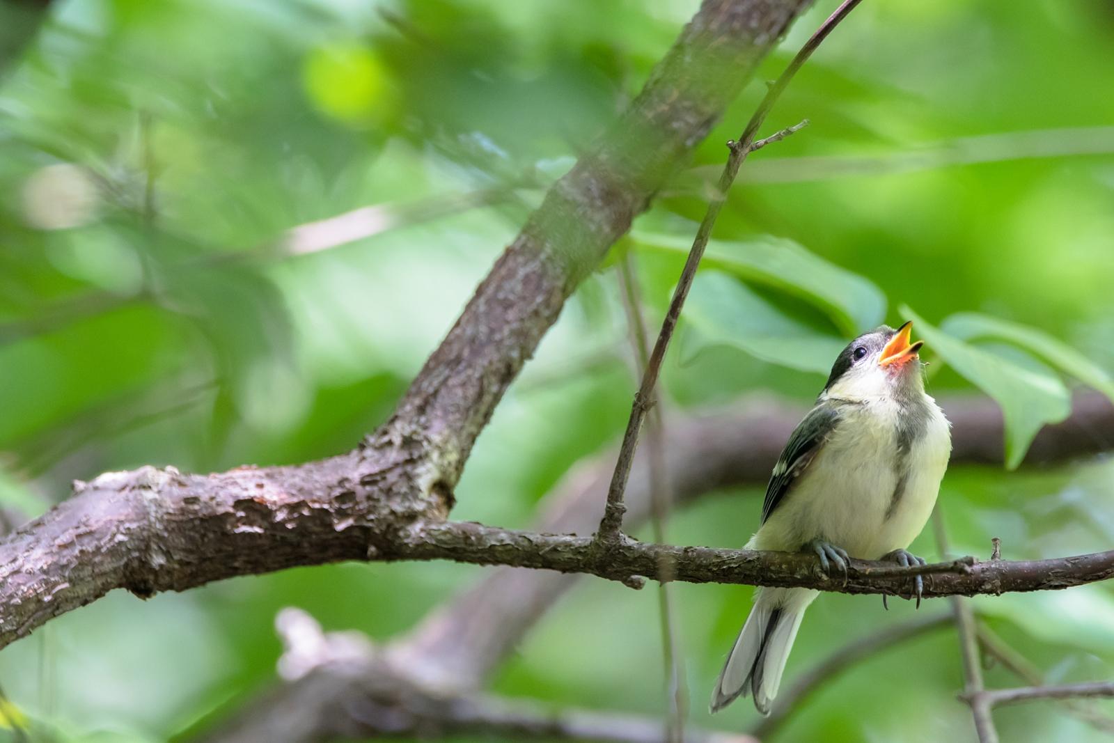 Photo: 「恵みの陽射し」 / Sunshine of blessing.  葉の隙間から きらきらこぼれてくる とてもあたたかくて 木々や葉も とってもとっても嬉しそう  Japanese Tit. (シジュウカラ)  Nikon D500 SIGMA 150-600mm F5-6.3 DG OS HSM Contemporary  #birdphotography #birds #kawaii #ことり #小鳥 #nikon #sigma  ( http://takafumiooshio.com/archives/2796 )