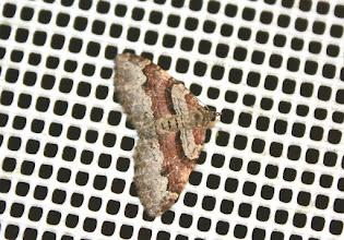 Photo: Xanthorhoe designata    Lepidoptera > Geometridae