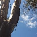 Tree goanna