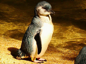 Photo: AUSTRALIE-Manchot au Featherdale Wildlife Park