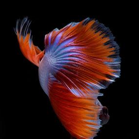 Red and White Halfmoon Betta Fish. by Hindra Komara - Animals Fish ( red, indonesia, fish, pixoto, photographer, best, photography, betta fish, photooftheday, animal,  )