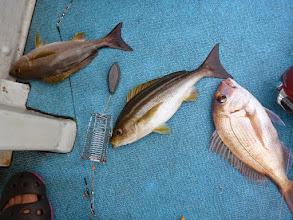 Photo: 真鯛、イサキ、イサキのダブルでした!
