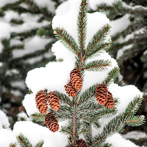 small pinecones snow (1 of 1).jpg