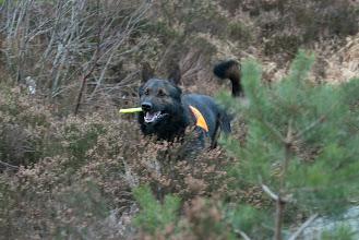 Photo: Varg har funnet noen i skogen og er på vei inn med løsbittet