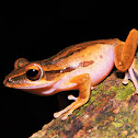 Four-lined tree frog